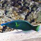Green Bird Wrasse (click for more detail)