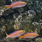 Sunset Anthias (Trio) (click for more detail)