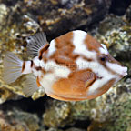 White Barred Flame Trunkfish Female [Expert Only]  (click for more detail)