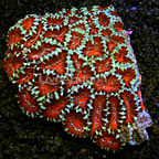 Aussie Acan Lord Coral (click for more detail)