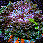 Meat Coral Indonesia (click for more detail)