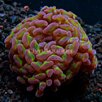 USA Cultured Reverse Stem Branching Hammer Coral (click for more detail)