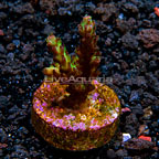 LiveAquaria® Raspberry Limeade Subulata Acropora Coral (click for more detail)