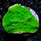 LiveAquaria® Chili Pepper Plating Montipora Coral (click for more detail)