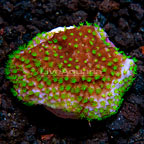LiveAquaria® Green Polyp Crateriformis Acropora Coral (click for more detail)