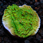 LiveAquaria® Green Apple Cap Montipora Coral (click for more detail)