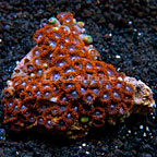 Fiery Grape Colony Polyp Rock Zoanthus Tonga IM (click for more detail)
