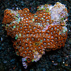 Ultra Horizons Colony Polyp Rock Zoanthus Tonga IM (click for more detail)