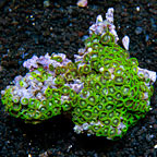 Green Bay Packers Colony Polyp Rock Zoanthus Tonga IM (click for more detail)