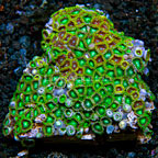 Radioactive Dragon Eye and Wham'n Watermelon Colony Polyp Rock Zoanthus Tonga IM (click for more detail)