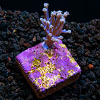 LiveAquaria® Blue Cespitularia Coral (click for more detail)