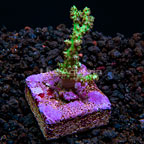 LiveAquaria® Screaming Green Tree Coral (click for more detail)