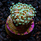 LiveAquaria® Grape Coral (click for more detail)