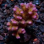 ORA® Pocillopora Damicornis, Pink (click for more detail)