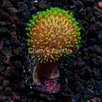 ORA® Green Polyp Leather Coral (click for more detail)