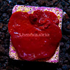 LiveAquaria® Photosynthetic Plating Red Sponge (click for more detail)
