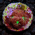 LiveAquaria® Red and Green Blastomussa Coral (click for more detail)