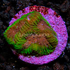 LiveAquaria® Holly Berry Brain Coral (click for more detail)