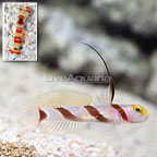 Hi Fin Red Banded Goby with Red Banded Pistol Shrimp (click for more detail)