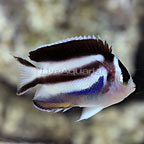 Bellus Angelfish Female (click for more detail)
