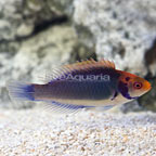 Red Head Solon Fairy Wrasse Terminal Phase Male [Blemish] (click for more detail)
