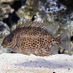 Yellow Blotch Rabbitfish (click for more detail)