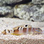 Tiger Watchman Goby  (click for more detail)