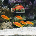 Lyretail Anthias (Group of 6) (click for more detail)