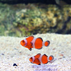 ORA® Captive-Bred Zombie Clownfish (Bonded Pair) (click for more detail)