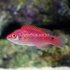 Walindi Fairy Wrasse Initial Phase [Blemish] (click for more detail)