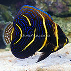 Cortez Angelfish Transitioning (click for more detail)