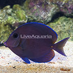 Caribbean Blue Tang Adult (click for more detail)