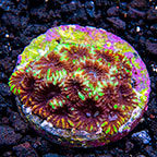 USA Cultured Yellow Submarine Favia Coral (click for more detail)