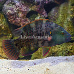 Red Sea Broomtail Wrasse  (click for more detail)