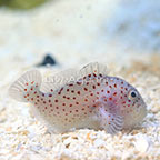 Spotted Coral Croucher  (click for more detail)