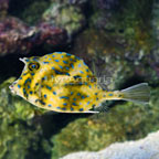 Caribbean Scrawled Trunkfish EXPERT ONLY (click for more detail)