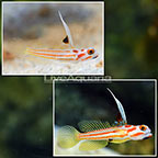 Yasha Goby (Bonded Pair)  (click for more detail)