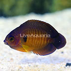 ORA® Captive-Bred Coral Beauty Angelfish [Blemish] (click for more detail)