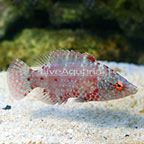 Snooty Wrasse (click for more detail)