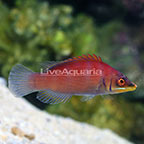 Scarlet Pin Stripe Wrasse (click for more detail)