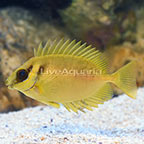 Blue Spotted Rabbitfish (click for more detail)
