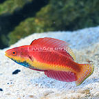 Blue Throat Fairy Wrasse Terminal Phase Male (click for more detail)