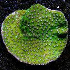 Aussie Turbinaria Coral (click for more detail)