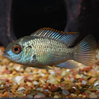 Electric Blue Acara (click for more detail)