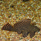 Colombian Spotted (L-165) Plecostomus (click for more detail)