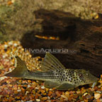 Tapajos Silver (L-215) Plecostomus (click for more detail)