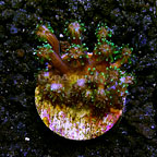 LiveAquaria® Green Long Polyp Galaxea Coral (click for more detail)