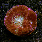 LiveAquaria® Plumberry Brain Coral (click for more detail)