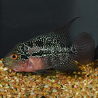 Magma Flowerhorn Cichlid (click for more detail)