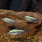 Longfin Congo Tetra (Group of 3) (click for more detail)